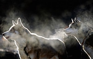 Husky Teams Prepare For The 28th Aviemore Sled Dog Rally