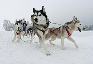 'Pullman City Quest' Dog Sled Race