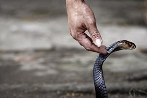 Cobras Harvested For Indonesian Burger Trade
