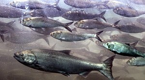 Bush Salmon Protection Plan Under Fire In Courts