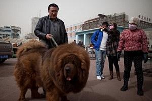 CHINA-TIBET-LIFESTYLE-ANIMAL-DOG