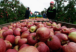 Apple Farmers To Receive EU Help Following Price Drop and Russian Sanctions