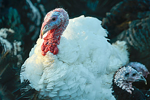 Ireland: free range turkeys are getting ready for Christmas tables